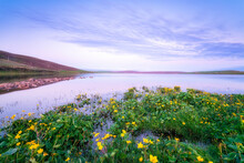 UK, Scotland, Mainland, Yellow Wildflowers Blooming On Shore Of Loch Of Swannay At Dusk