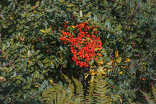 Pyracantha Is A Perennial Evergreen Shrub With Shiny Red Berries On A Sunny Autumn Day. Ornamental Shrub In Autumn.