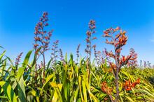 New Zealand Flax, Phormium Thenax, Coromandel Peninsula, New Zealand