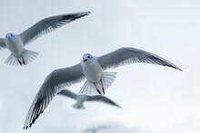 Germany,ÔøΩMecklenburg-WesternÔøΩPomerania, Prerow, Black-headedÔøΩgullsÔøΩ(ChroicocephalusÔøΩridibundus)ÔøΩin Flight
