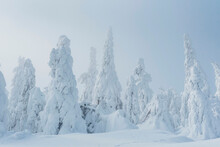 Snow-covered Fir Trees, Arbermandel, Ore Mountains, Germany