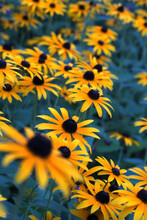 Yellow Coneflowers Blooming Outdoors