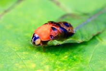 Asian Ladybeetle (Harmonia Axyridis) Hatching On Leaf