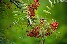 Clusters Of Red Mountain Ash On A Branch