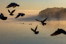 Silhouette Of Birds Taking Off In The Dawn Fog