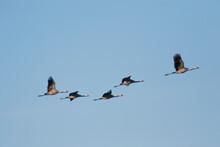 Germany, Flock Of Common CranesÔøΩ(GrusÔøΩgrus)ÔøΩflying Against Clear Blue Sky