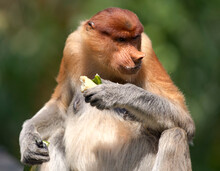 Malaysia, Borneo, Sabah, Portrait Of Eating Female Proboscis Monkey
