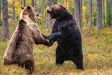 Brown Bear Fight