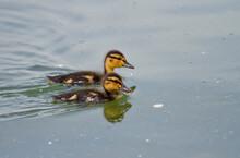 Two Mallard Ducklings On Chiemsee, Bavaria, Germany