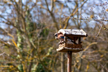 Germany, Bavaria, Wurzburg, Eurasian Jay (Garrulus Glandarius) Perching On Edge Of Bird Feeder