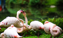 Two Flamingos In Action
