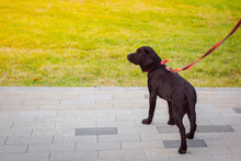 Black Dog In The Park, Full Length Close-up Portrait. Young Labrador Retriever. The Dog Is On A Leash.