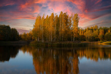 Birch Grove In Autumn, Reflected In The Lake At Sunset.