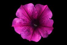 Petunia Flower Head Closeup