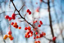 Red Ranetki On The Branches Of Autumn Trees. Wild, Small Autumn Apples. Autumn Background, Texture.