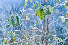 The Remains Of Green Leaves On The Branches In Crystal Frost Against The Background Of A Frozen Meadow. Background