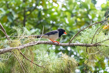 Portrait Of Bird - Blue Magpie (Urocissa Caerulea)