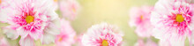 Blurry. Delicate,soft Sweet Colors Banner With Pink Flowers Of Cosmea,cosmos.For A Summer Or Feminine Concept. Sunny Bokeh On Flowers And Background