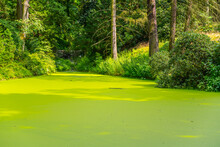 Green Algae Pond In Natural Park. Rich Green Water Surface.