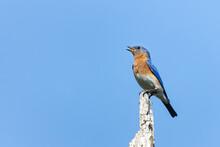 An Eastern Bluebird (Sialia Sialis) Singing From Atop A Perch In Huntley Meadows Park, Alexandria, Virginia, USA