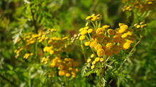 Yellow Wildflowers Summer Meadow Plants