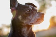 Imagen De Un Perro Mayor Negro De Raza Chihuahua Con Los Rayos De Sol De Fondo Desde Un Plano Contrapicado.