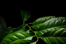 Green Leaves On A Black Background Under Artificial Light