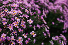 A Bright Purple Flower On A Flower Bed. Rose Petals. A Close-up Shot Of Small Chrysanthemums.