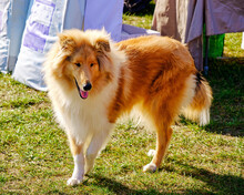 The Collie Dog Is Standing On The Green Grass