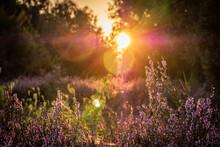 Lüneburger Heide Heideblüte Im Abendrot