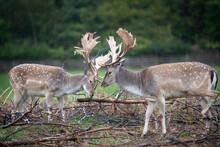 Two Deers,  Dama Dama Deer, European Fallow Deer