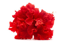 Extreme  Close-up Of Dark Red Flower Hibiscus  ( Malvaceae ), Isolated Over White Background