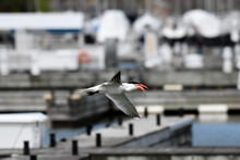 Common Tern In Flight Above A Harbor In Spring