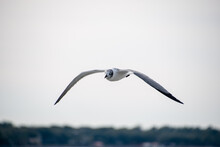 A White Seagull Flying In The Charleston Harbor