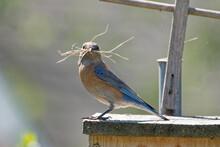 Closeup Shot Of A Cute Eastern Bluebird (Sialia Sialis)