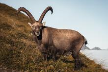 Ibex On Mountain