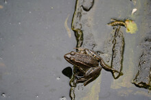 Tailed Frog In A Muddy Pond