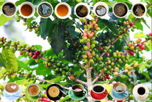 Picture Of A Coffee Plant With Lots Of Coffee Beans. And There Are Various Types Of Coffee Mugs Arranged On The Picture. Best For Backgrounds Work.