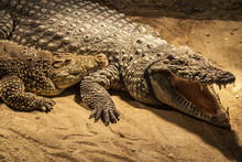 Nile Crocodile In The Zoo