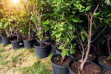 Many Small Plastic Pots With Rhododendron Azalea Flower Bushes Prepared For Planting Ornamental Garden Meadow Sunny Day. Seasonal Plant Transplantation. Landscaping Design Concept. Plant Nursery Sale