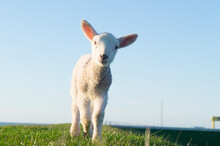Cute Little Dike Sheep Lamb Is Looking At You Close Up