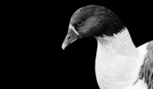 Cute Black And White Goose Bird In The Black Background