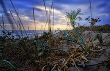 Sea Lily Over A Dune At A Sunset