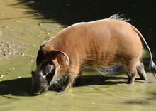 Brush Ear Pig; Potamochoerus Porcus