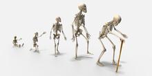 3d Generationen, Skelett Vom Baby über Kleinkind, Jugendlichen, Erwachsenen Und Alter Mann, Isoliert