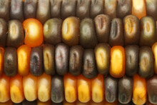 Multicolored Decorative Indian Corn Background, Close Up.