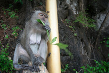 Monkey Eating Leaf In The Tree