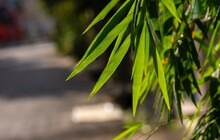 Bamboo Leaves On Blurr Background For Natural Wallpaper