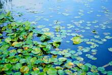 池に浮かぶハス