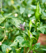 Close-up Of A Garden Fly Perched On A Chili Tree In The Garden